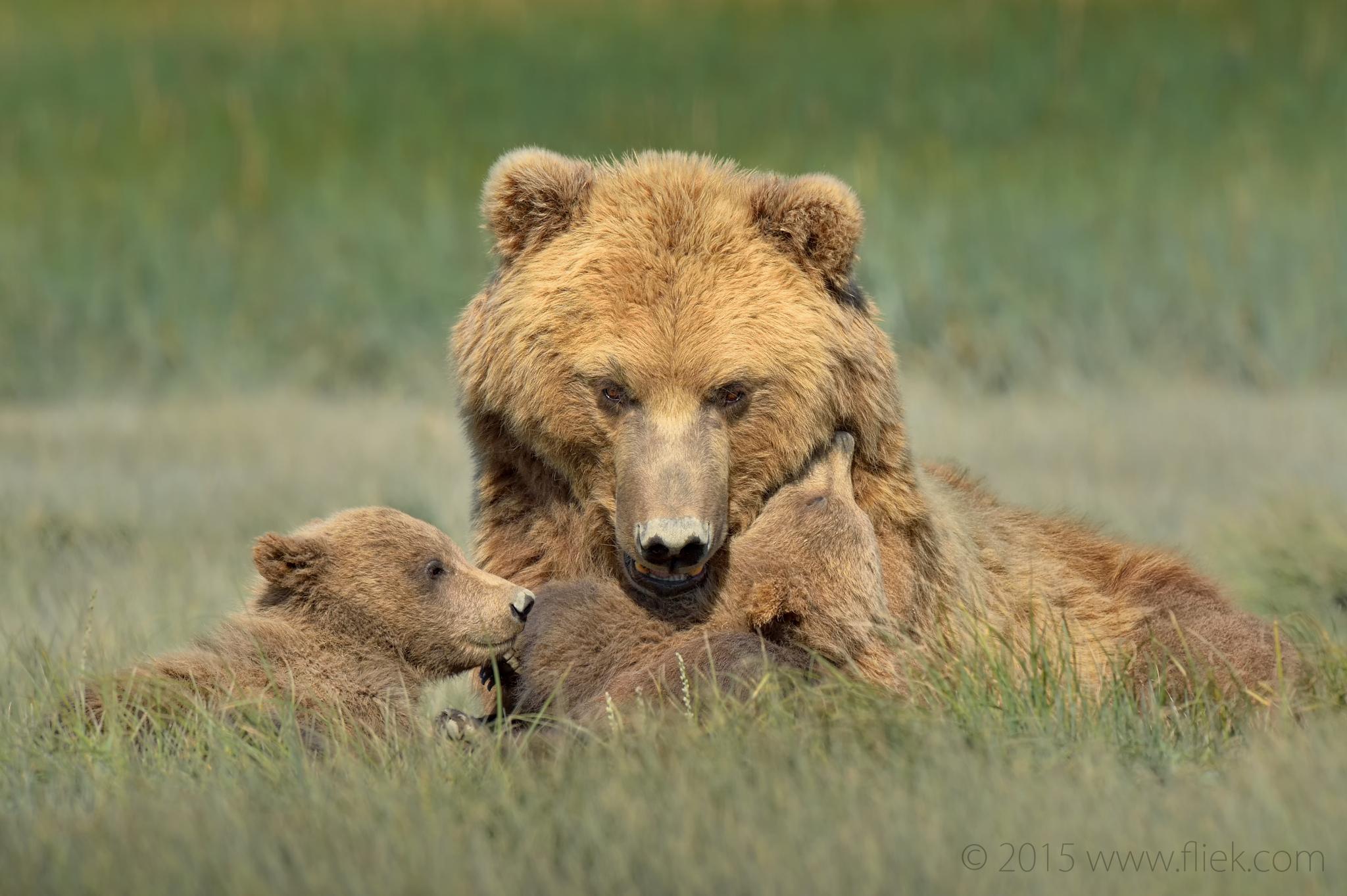 hallo bay bear family