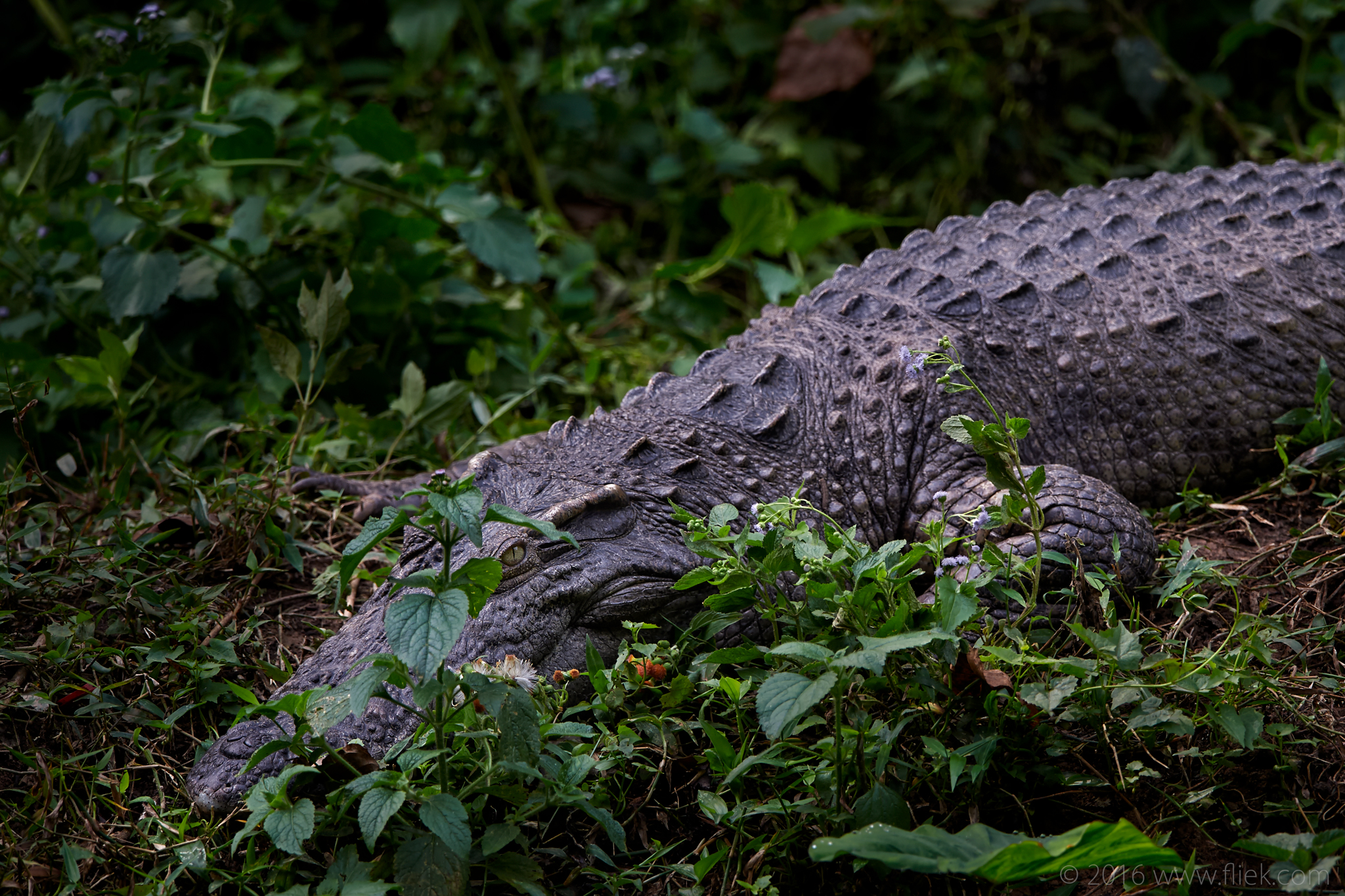 croc-Nikon 600mm f4 FL TC14 850mm