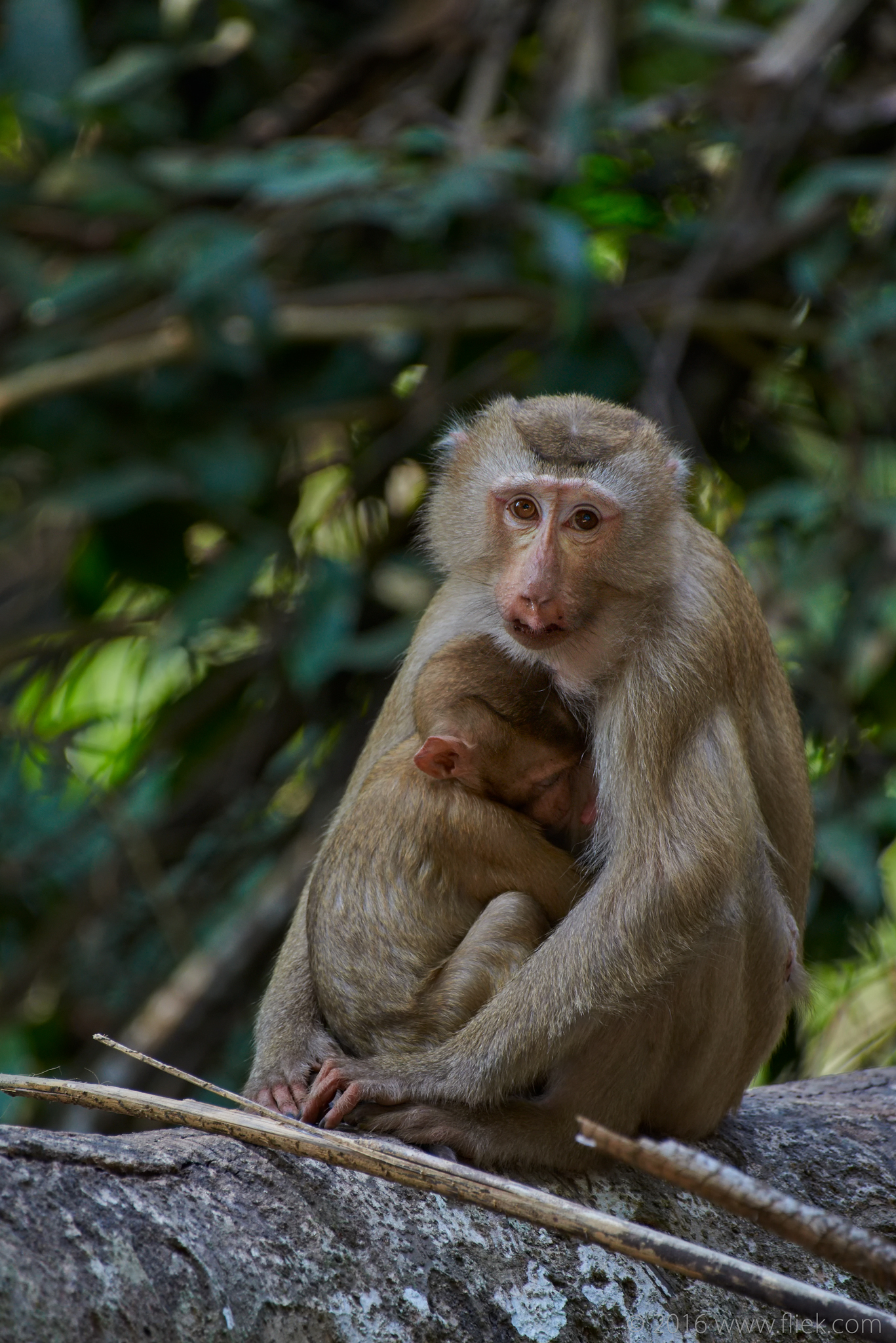 Khao Yai Macaque Nikon 200-500mm f5.6