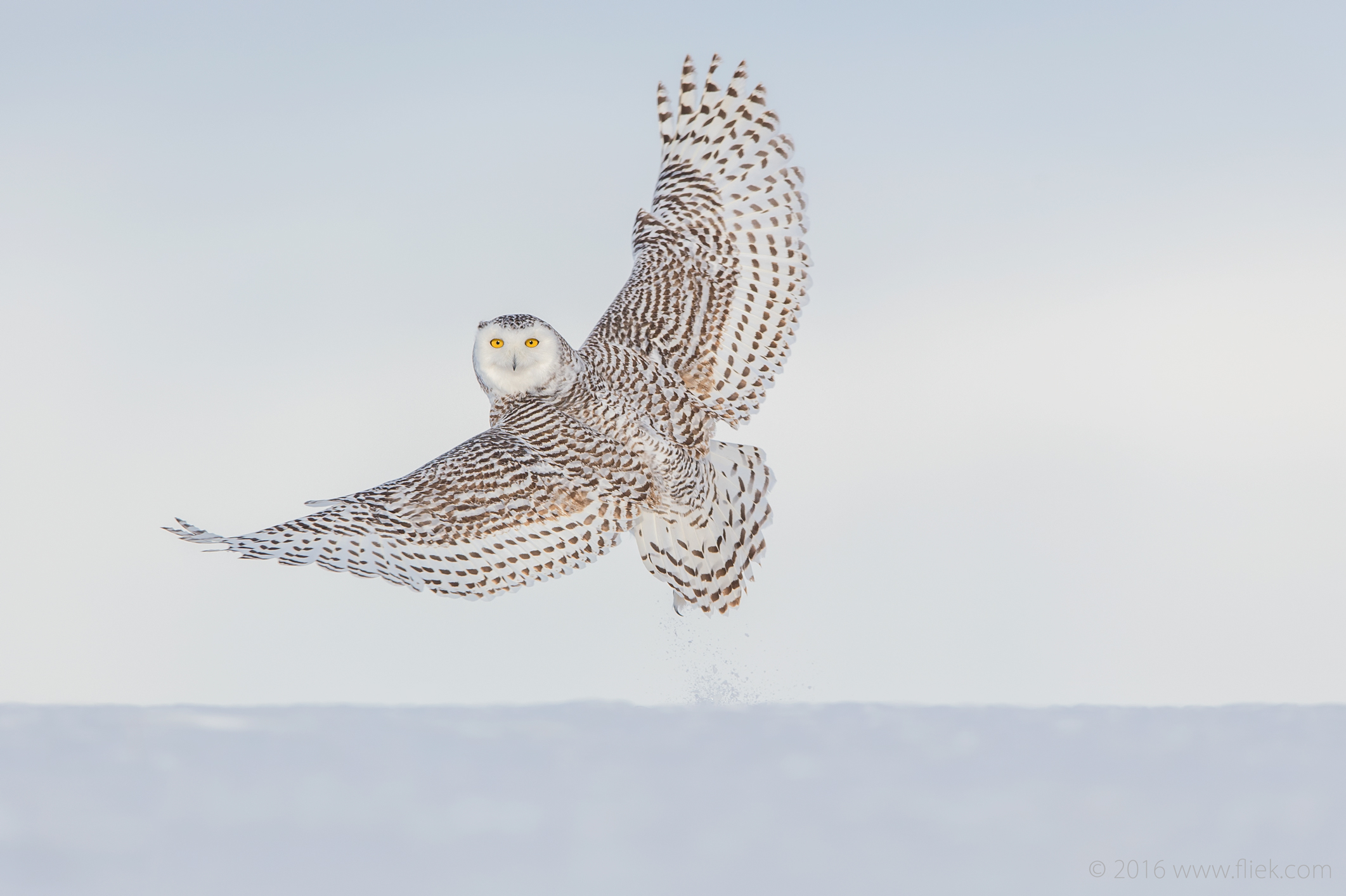 Snow Owl1-part1