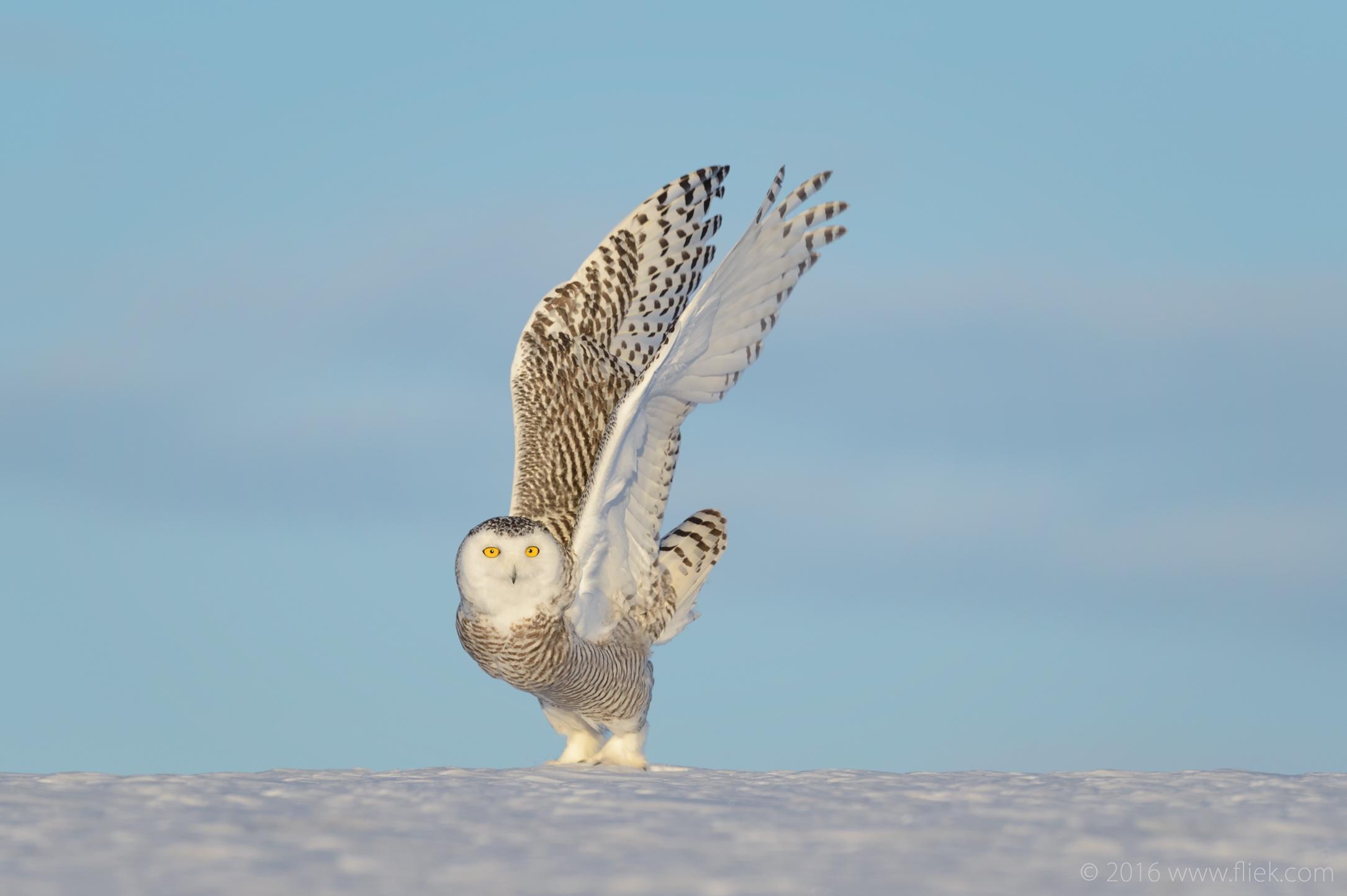 Snow Owl10-part3