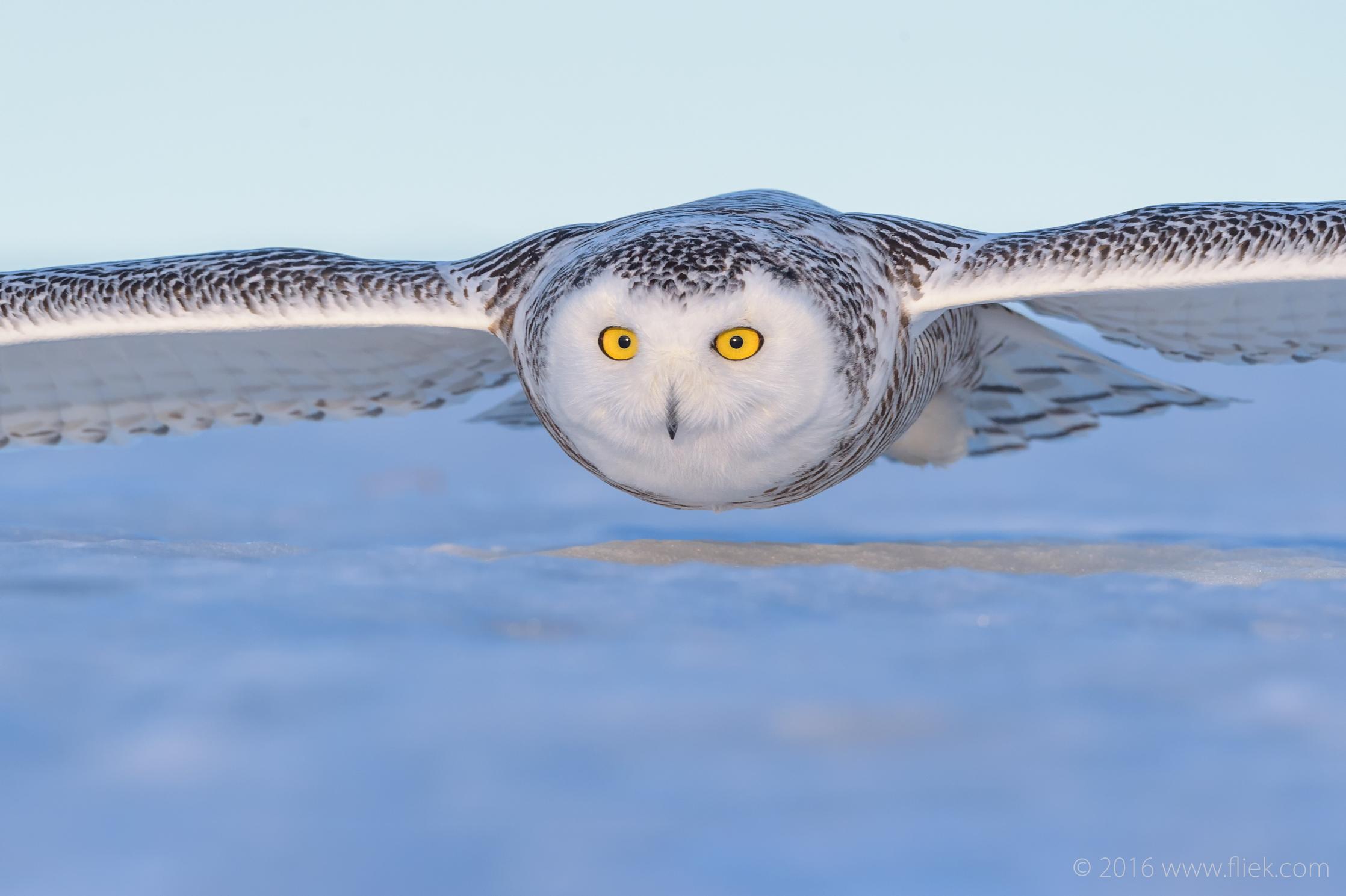 Snow Owl11-part3