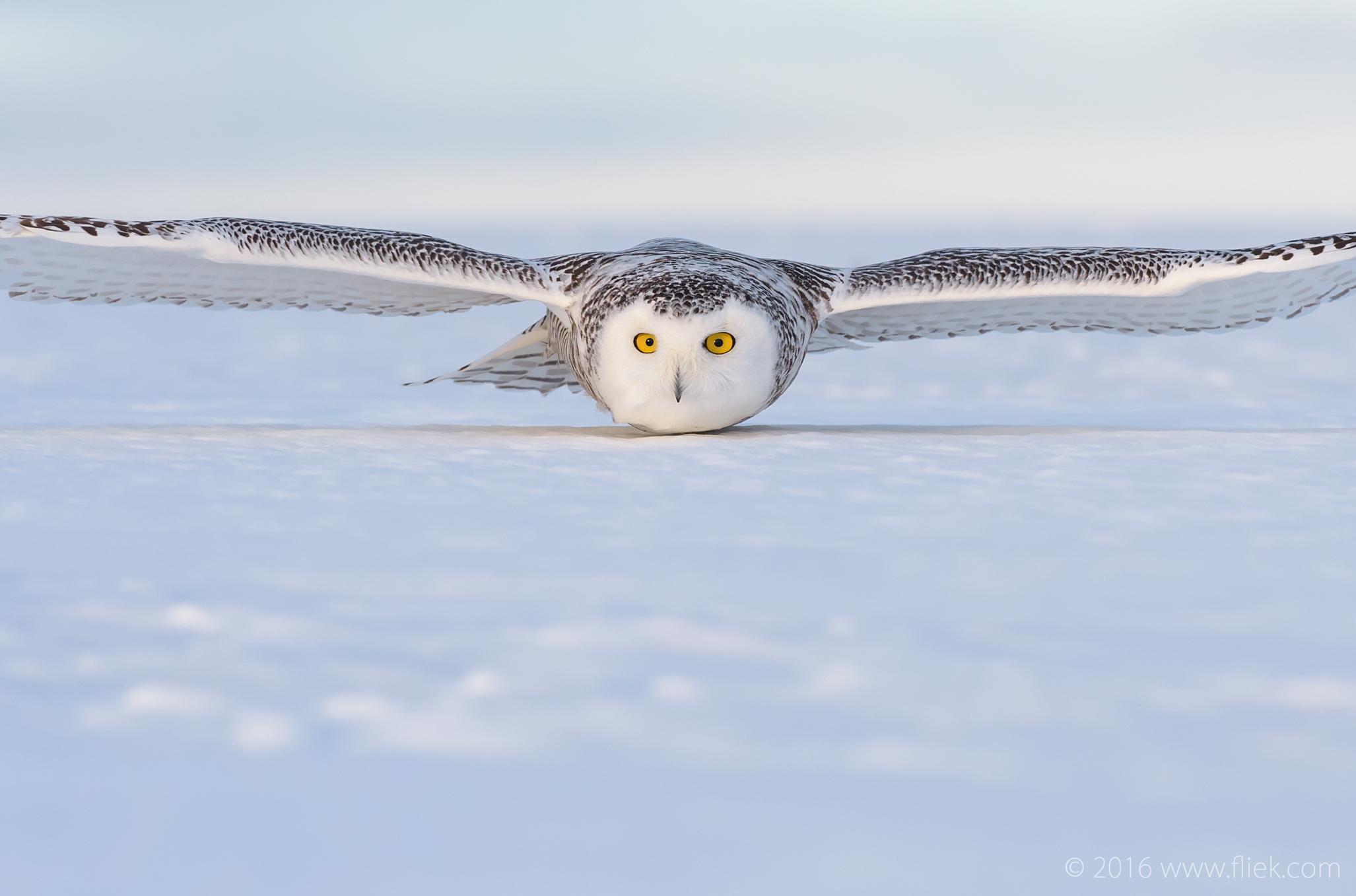 Snow Owl12-part3