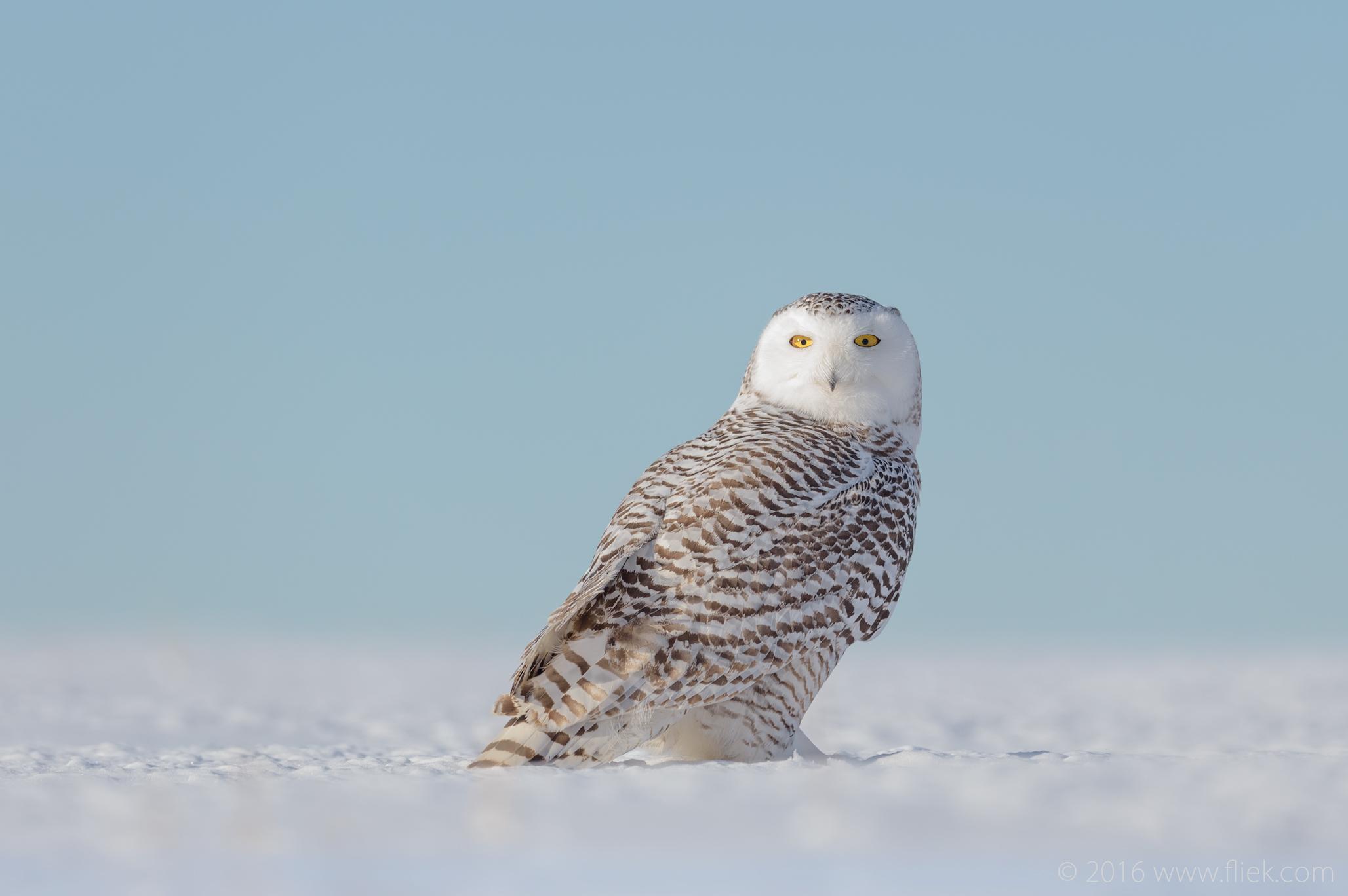 Snow Owl13-part3