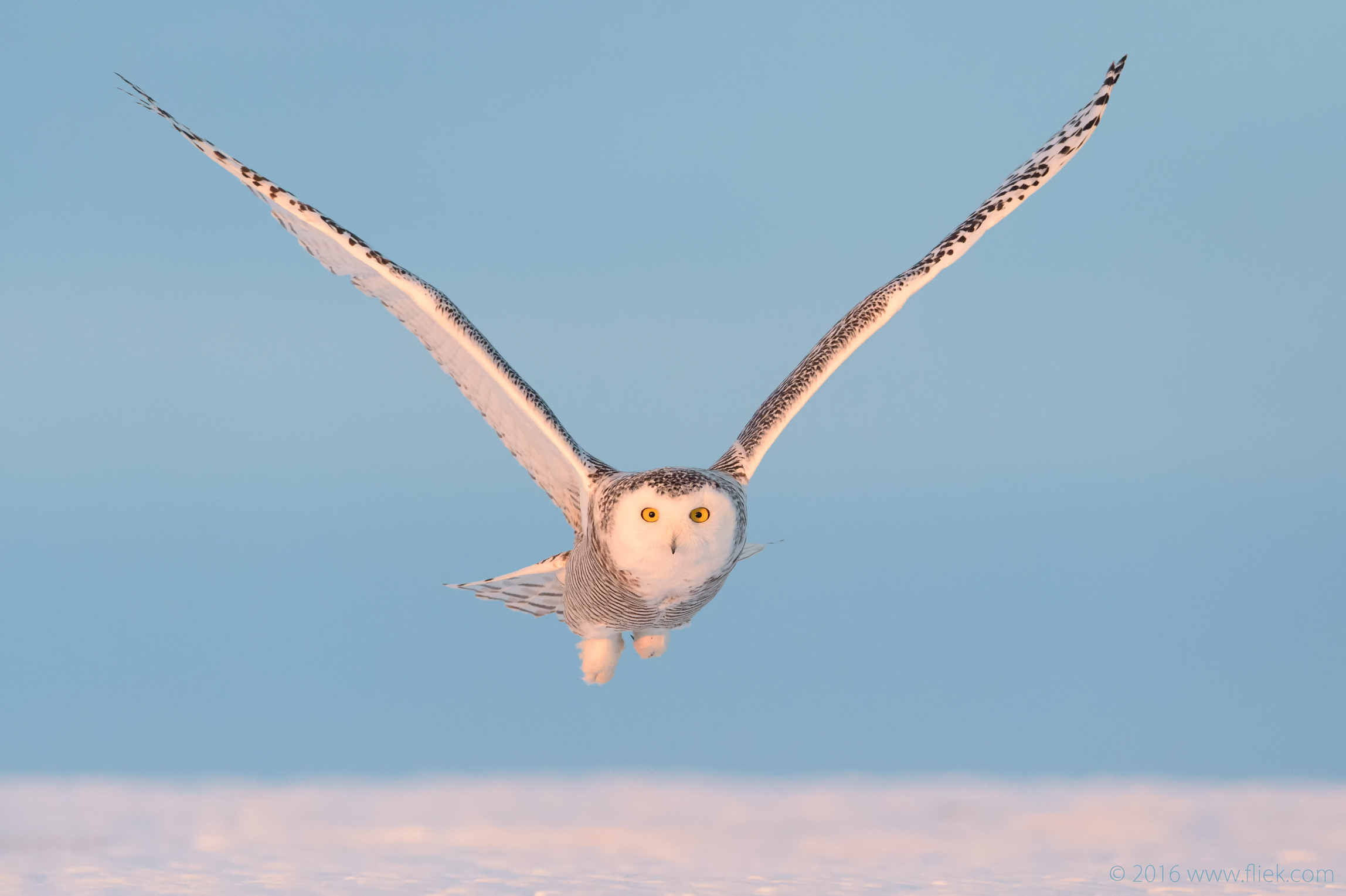 Snow Owl14-part3