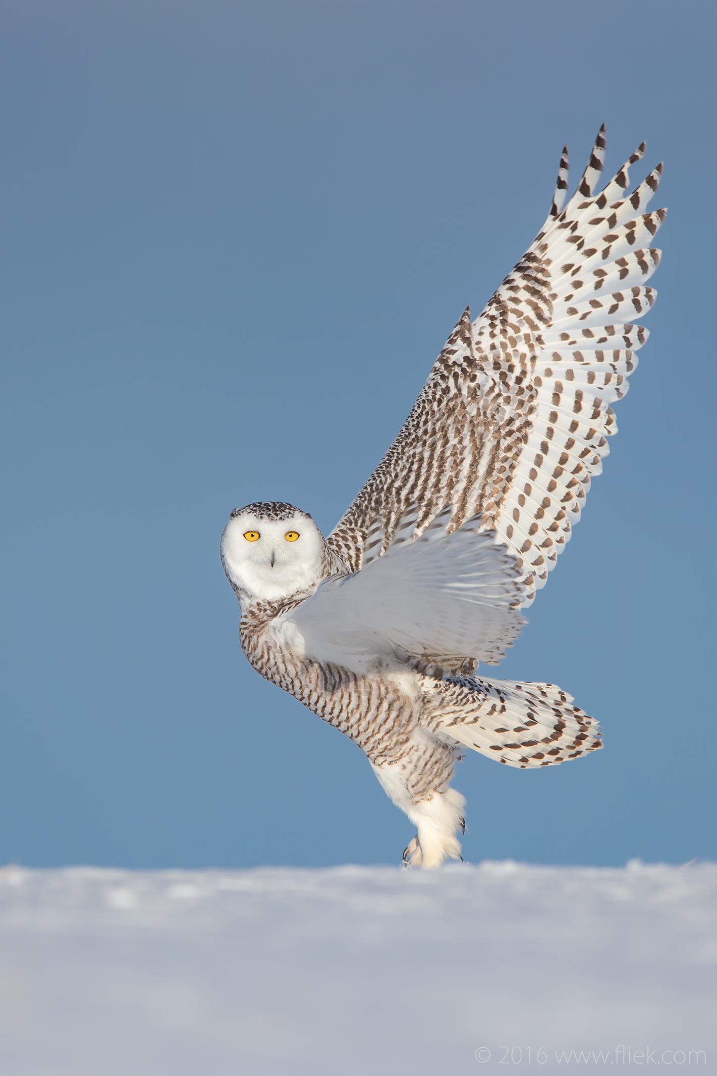 Snow Owl2-2-part1
