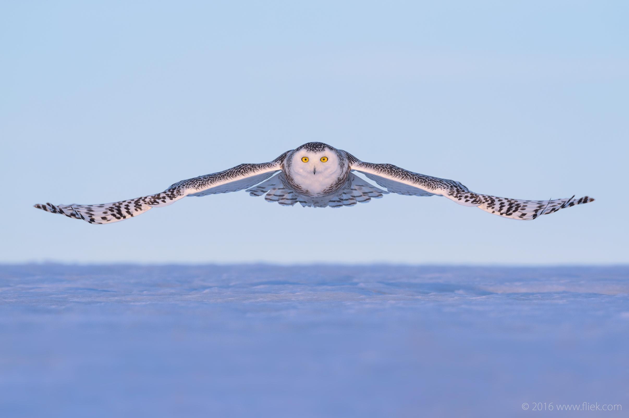 Snow Owl3-4-part1
