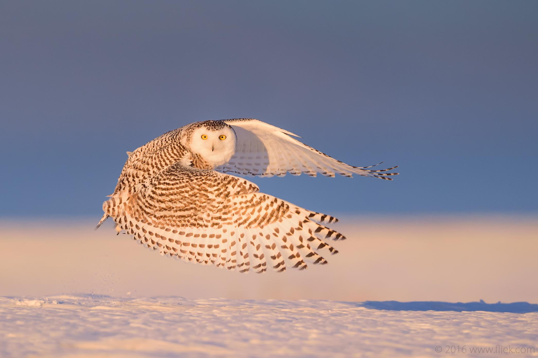 Snow Owl4-part1