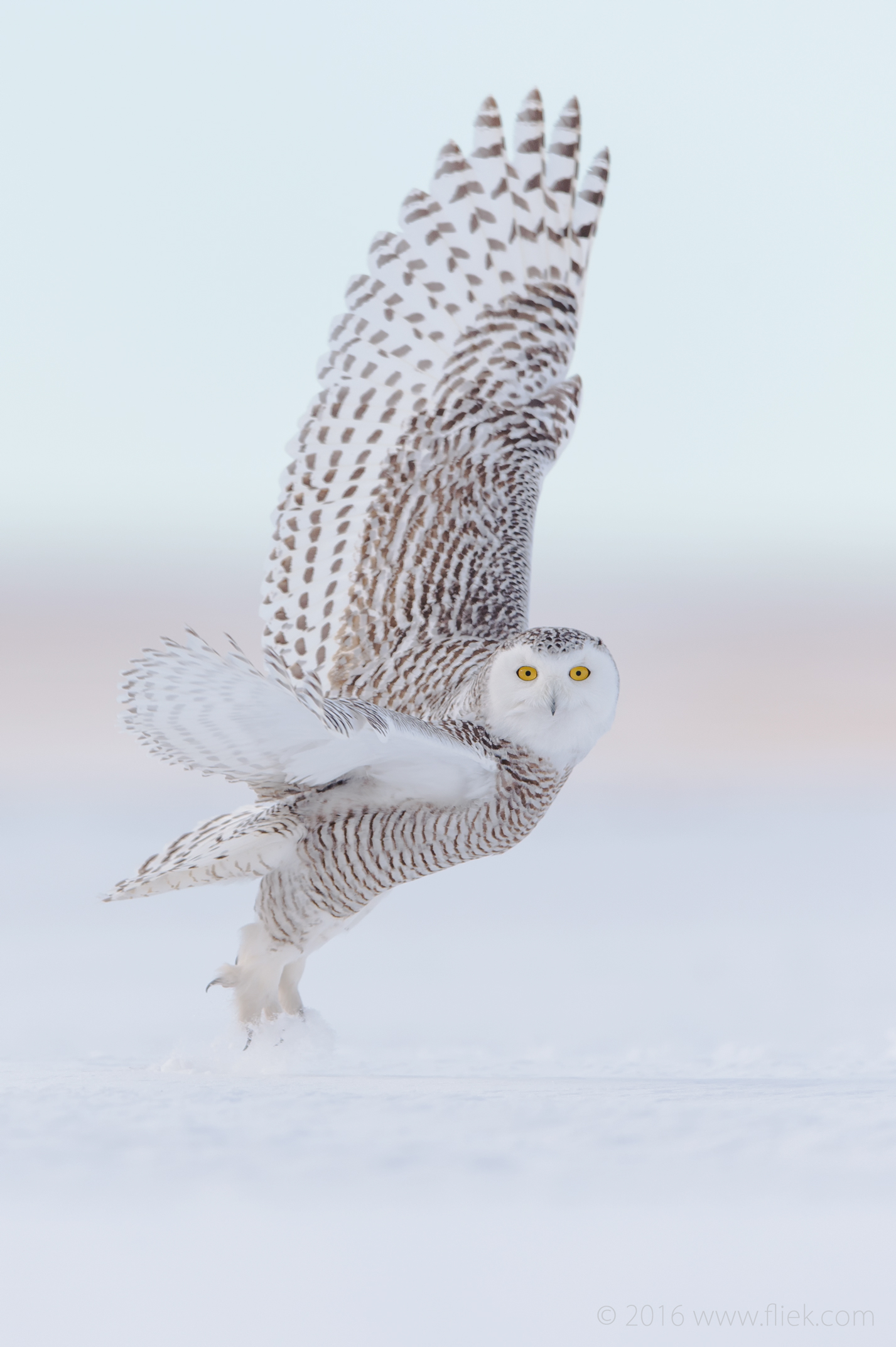 Snow Owl5-part2