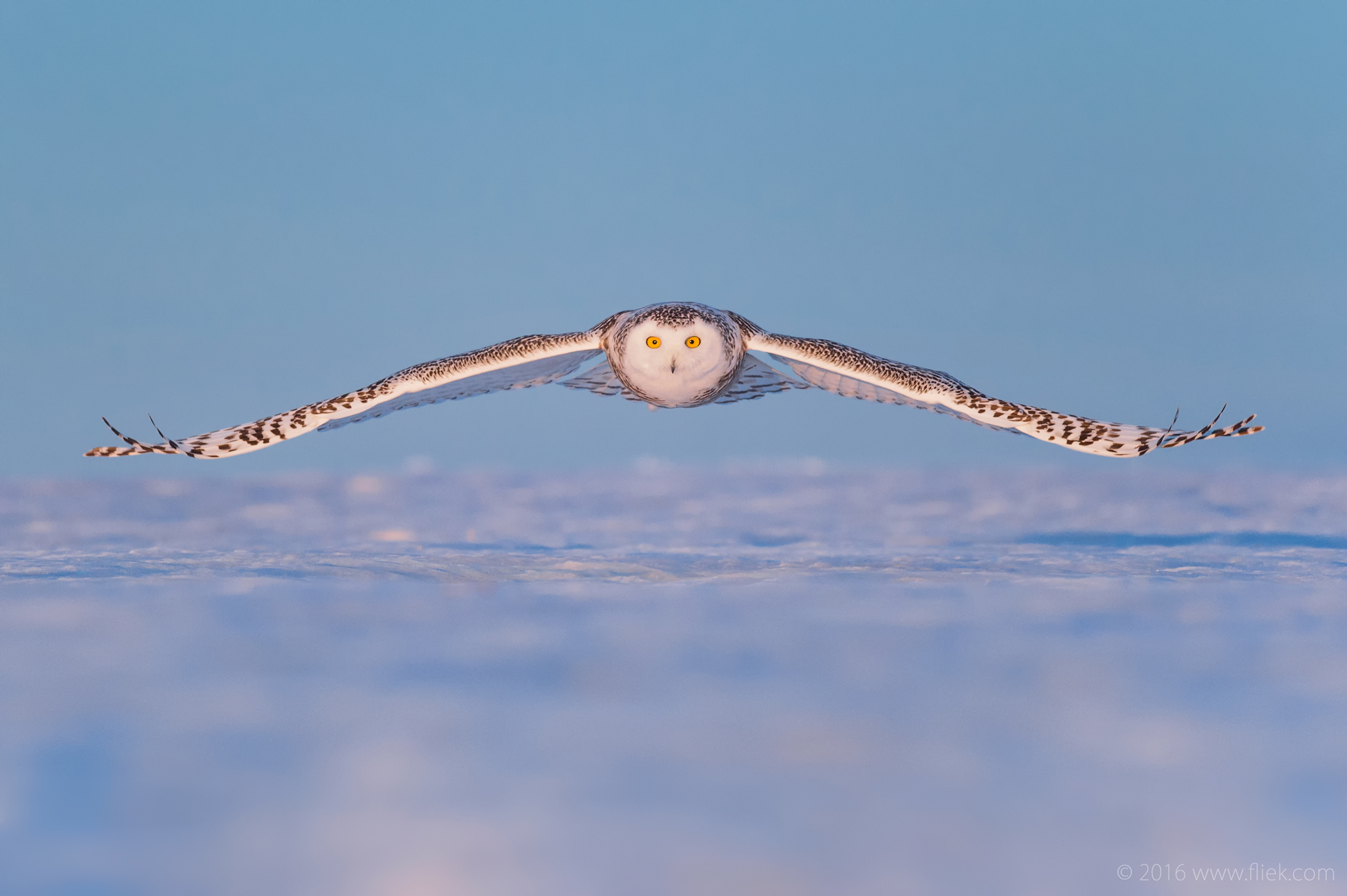 Snow Owls of Canada, Part 2 (or: how to shoot birds in flight)