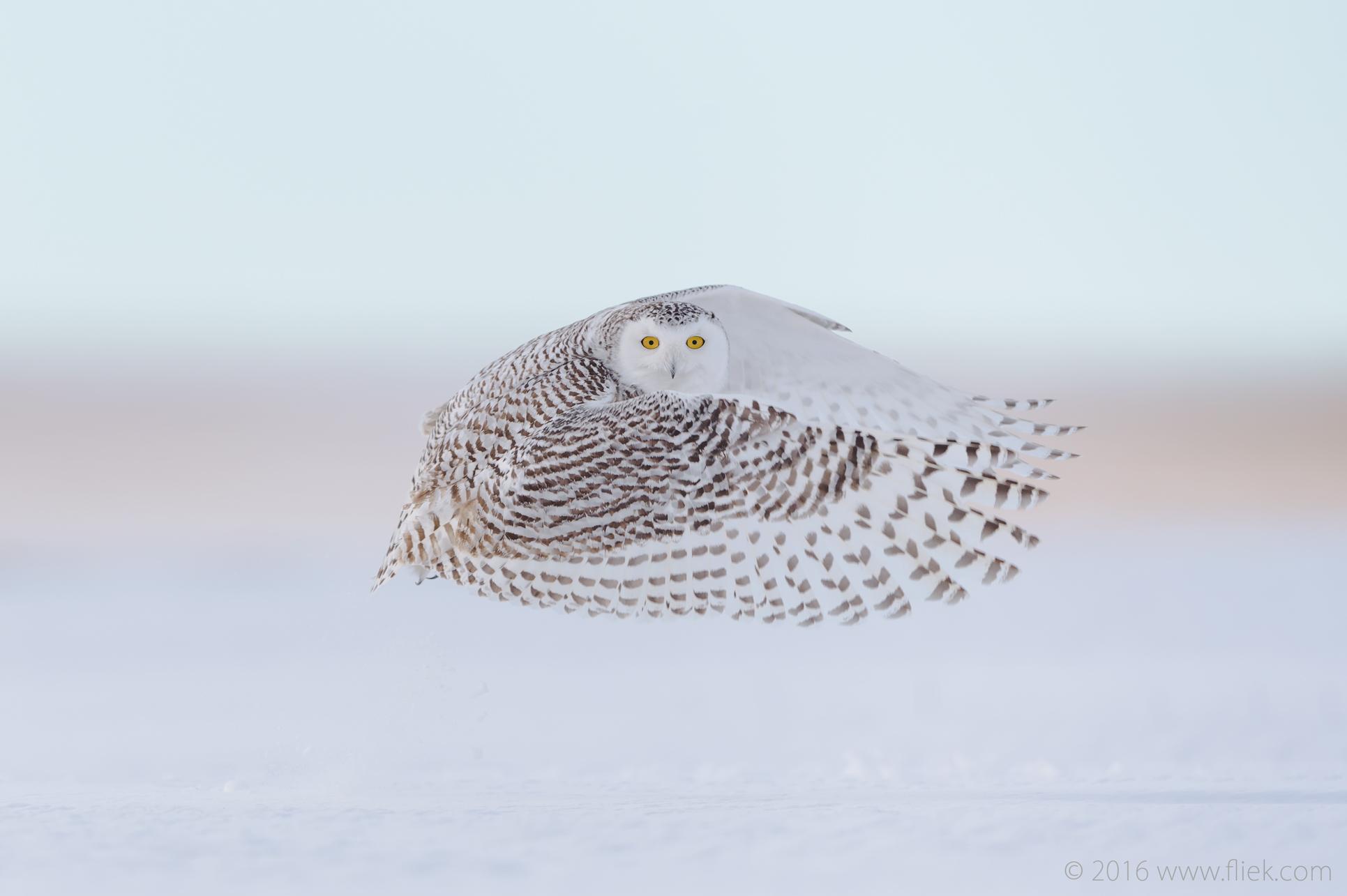 Snow Owl9-part3