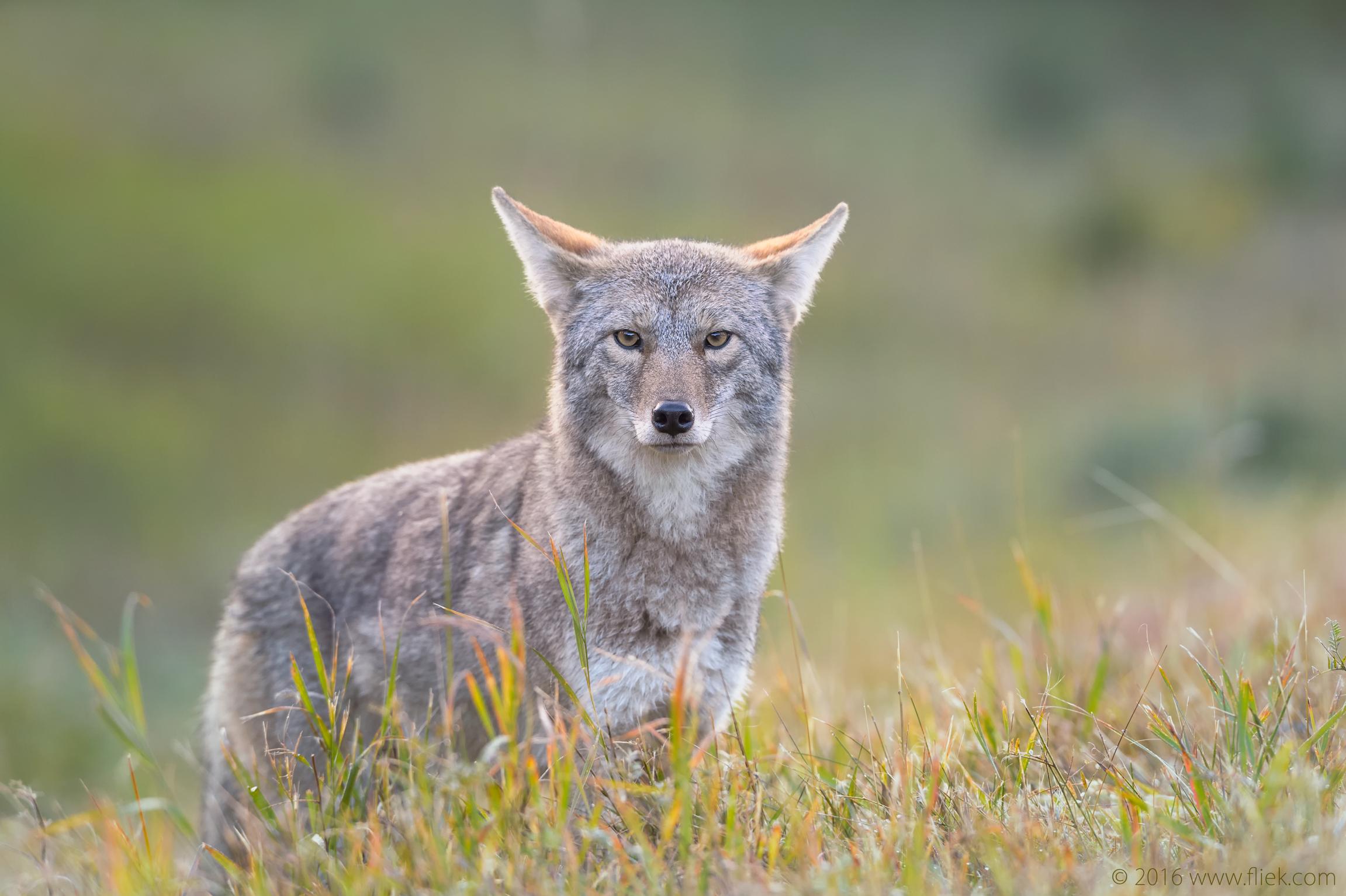 Canada Rockies Coyote