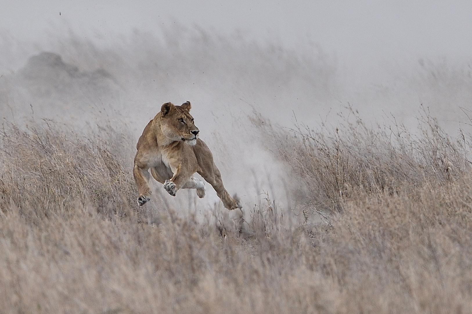 A 'killing combination': lion vs. zebra with the Nikon 600mm f/4E FL & D4S