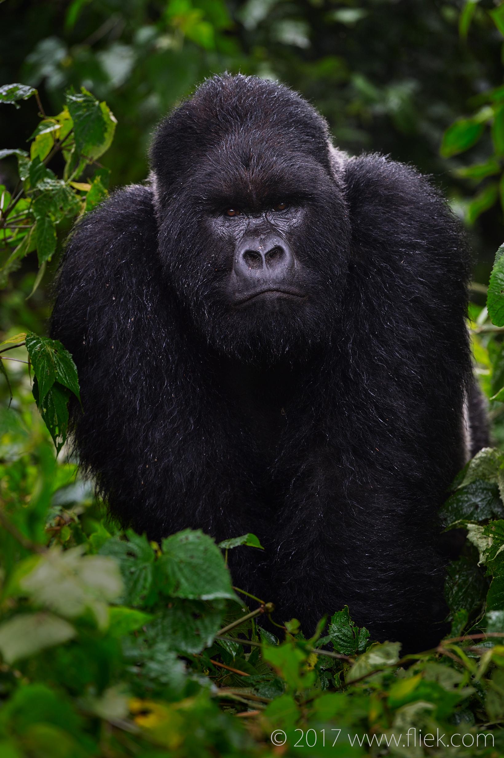 rwanda-mountain-gorilla-silverback