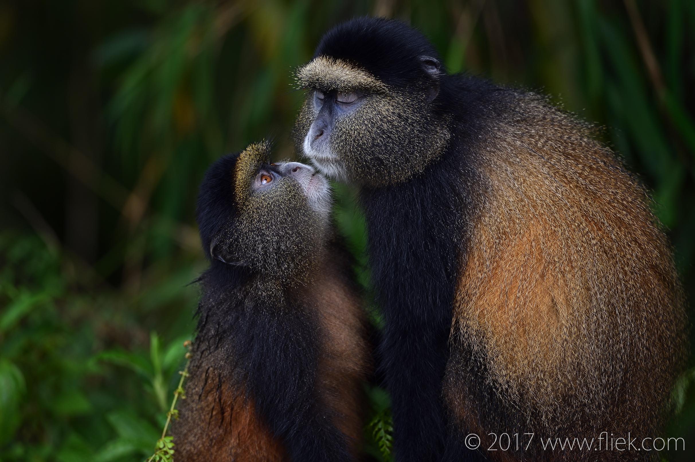 d4s-golden-monkey-begging