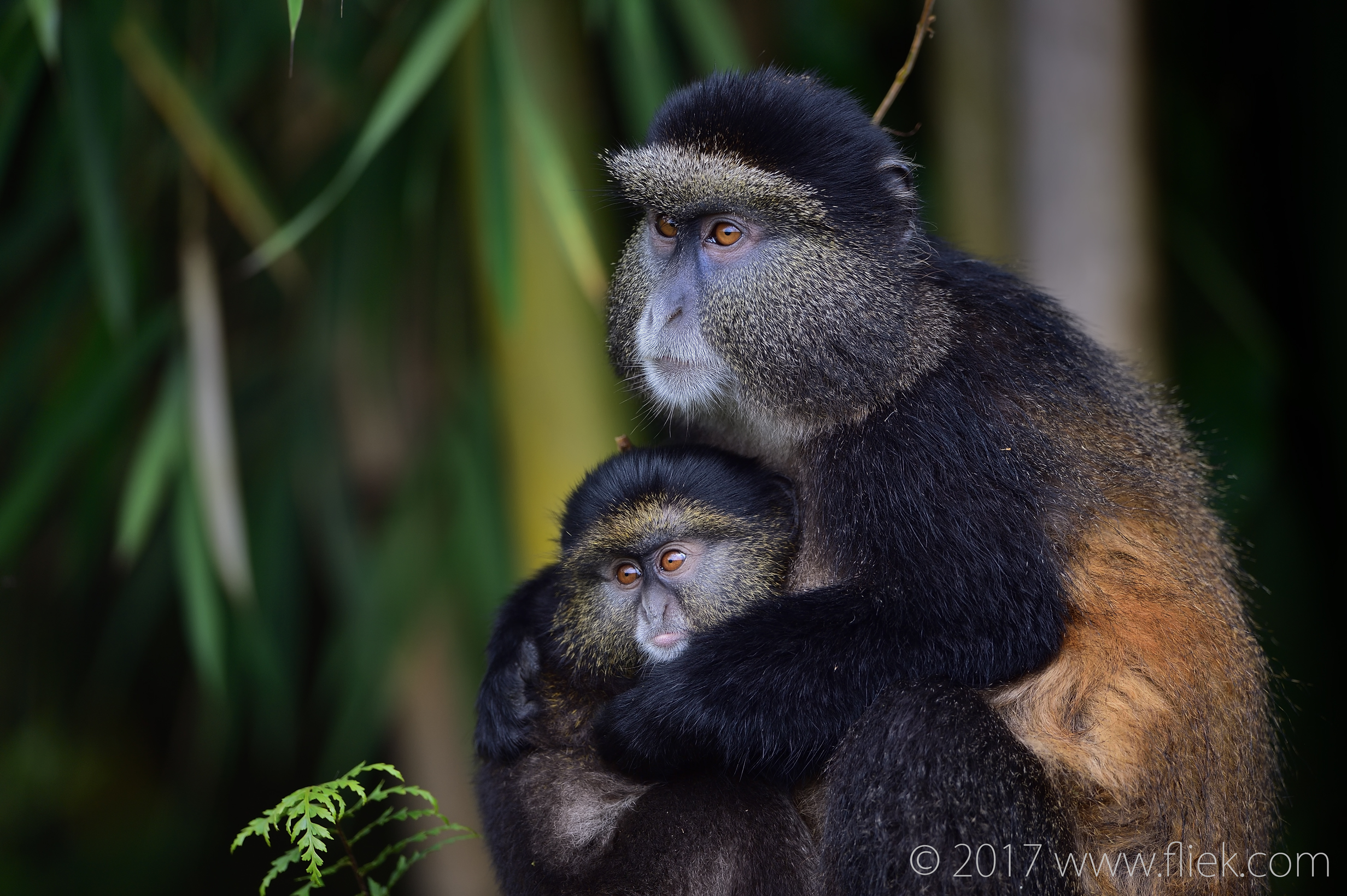 d4s-golden-monkey-mum-and-baby