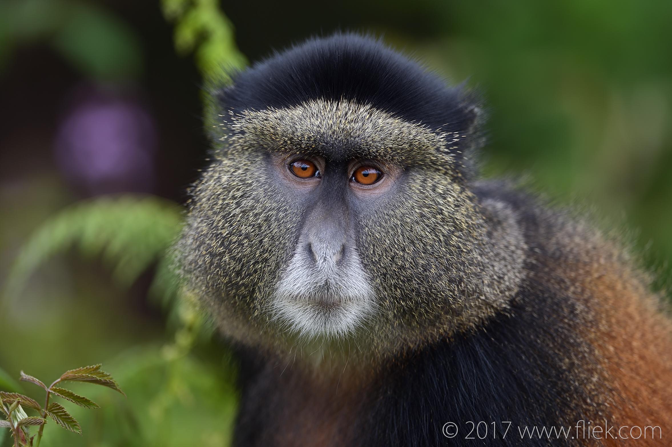 d4s-golden-monkey-portrait1