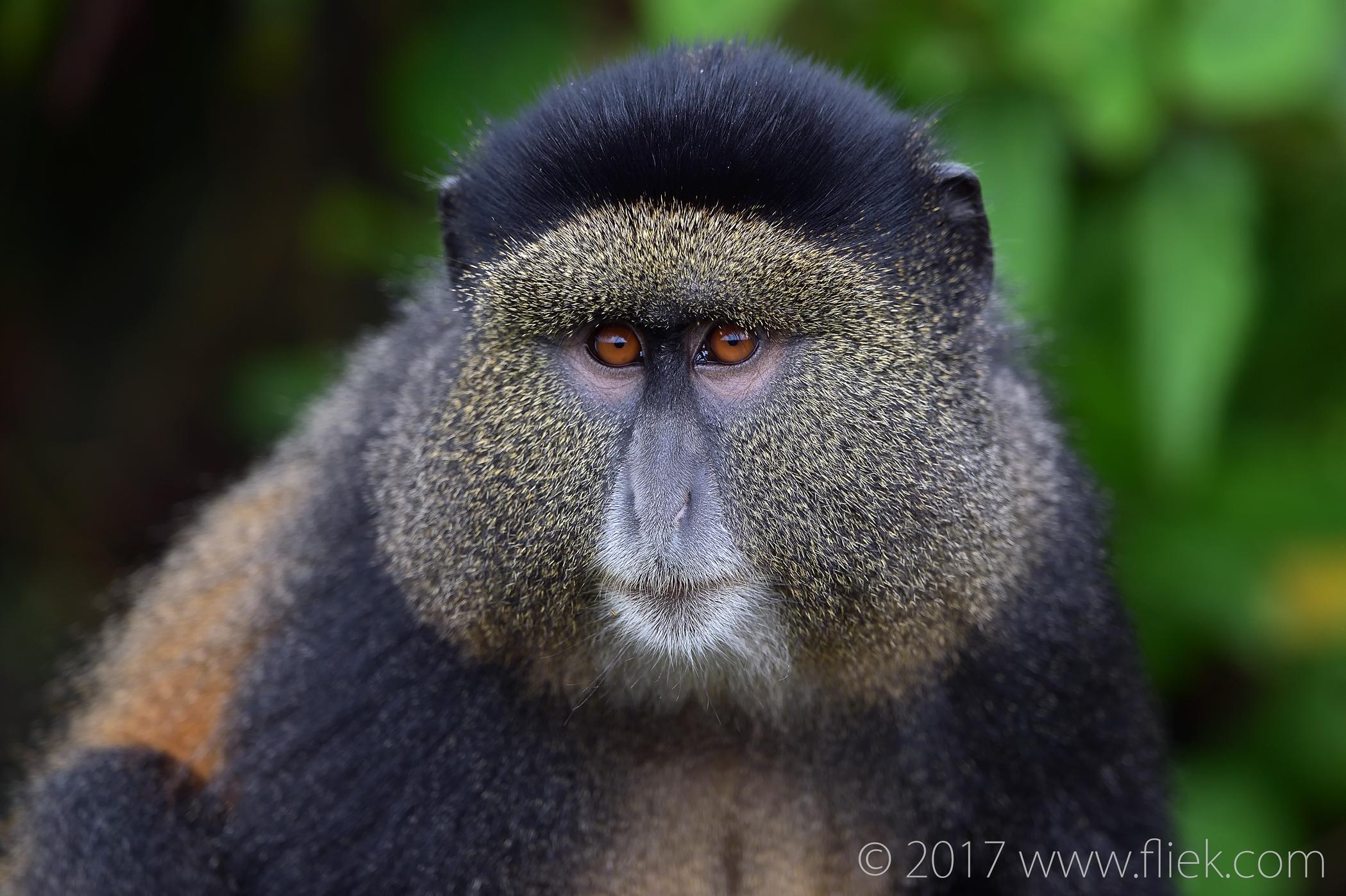 d4s-golden-monkey-portrait2-1