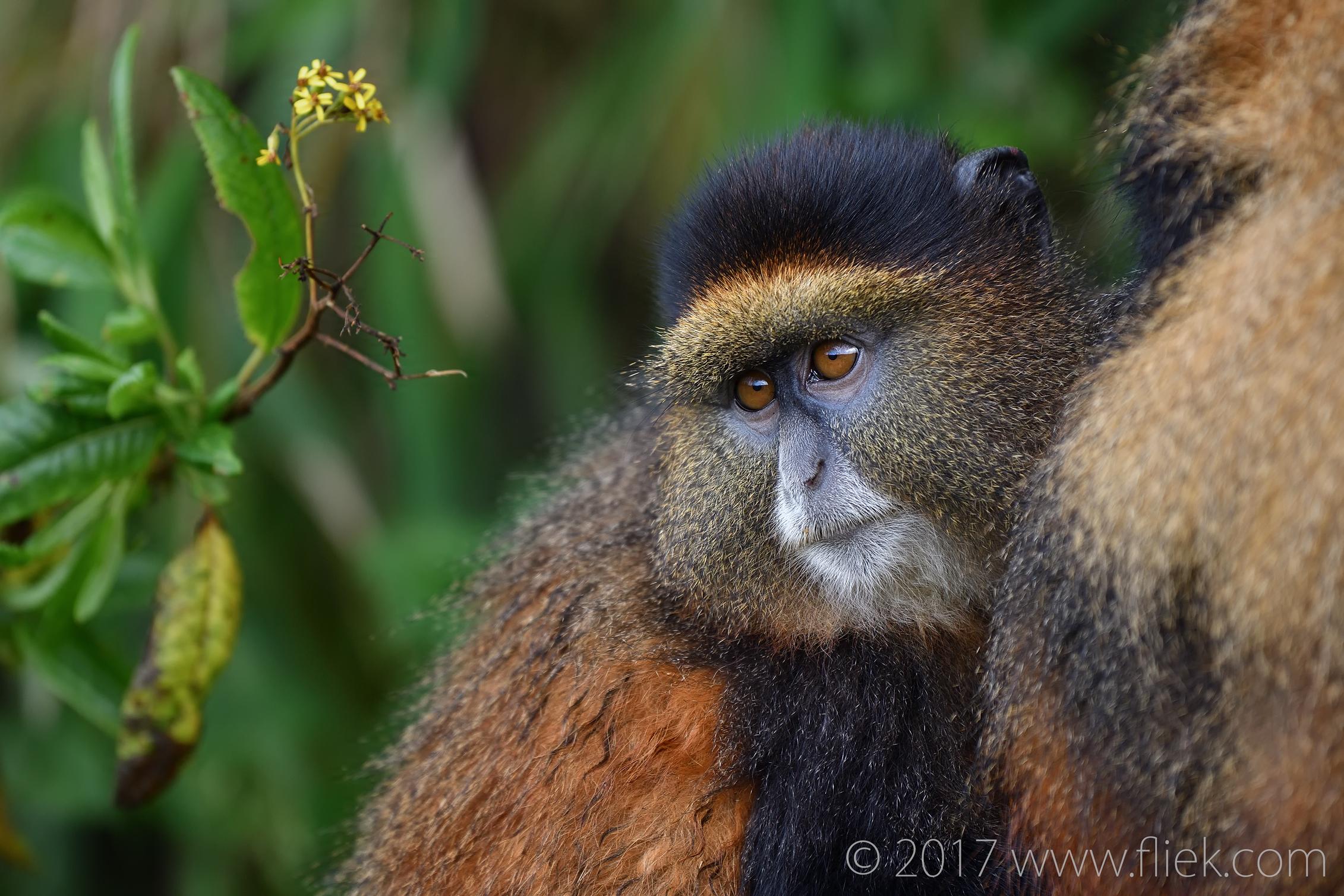 d500-cute-golden-monkey