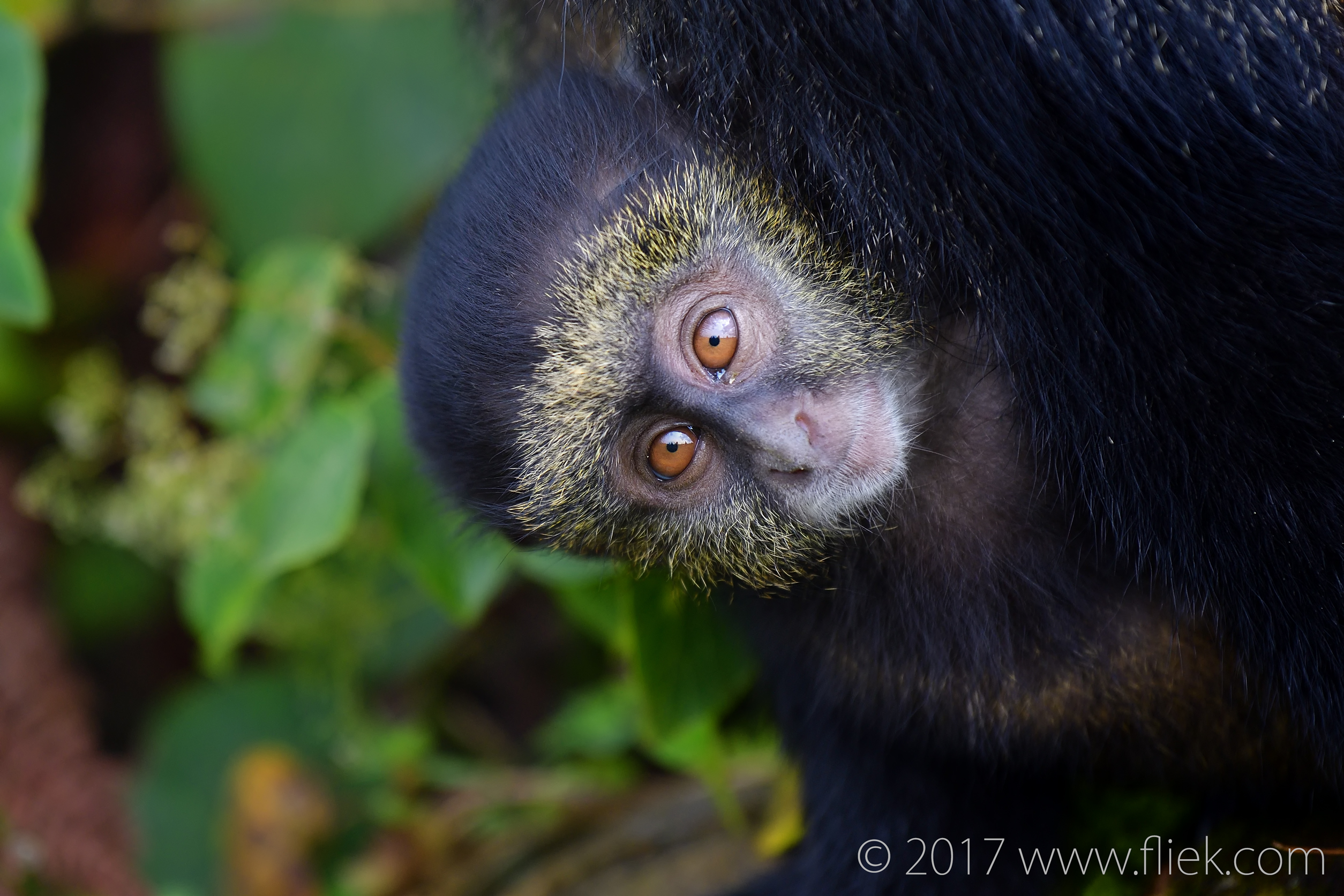 d500-golden-monkey-baby