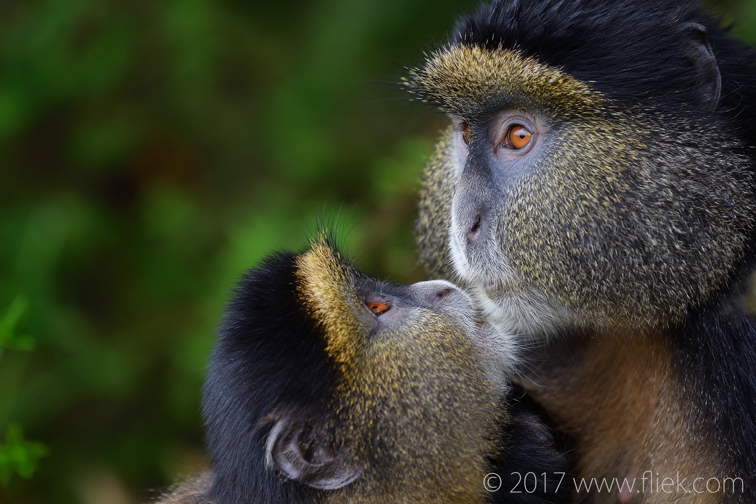d500-golden-monkey-begging