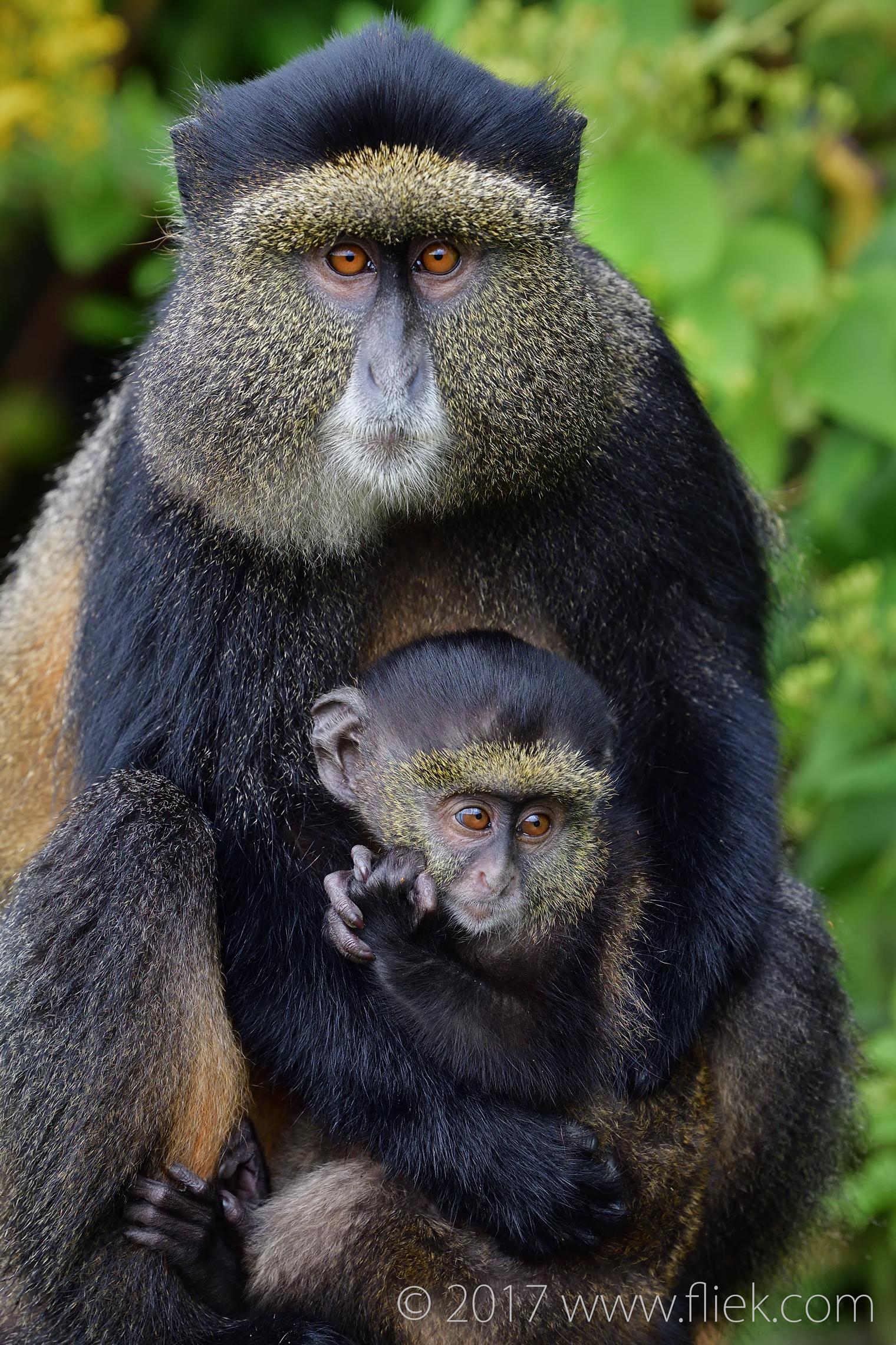 Golden Monkeys of Volcanoes National Park – part 1: Nikon D500 & 70-200mm f/2.8E FL combo