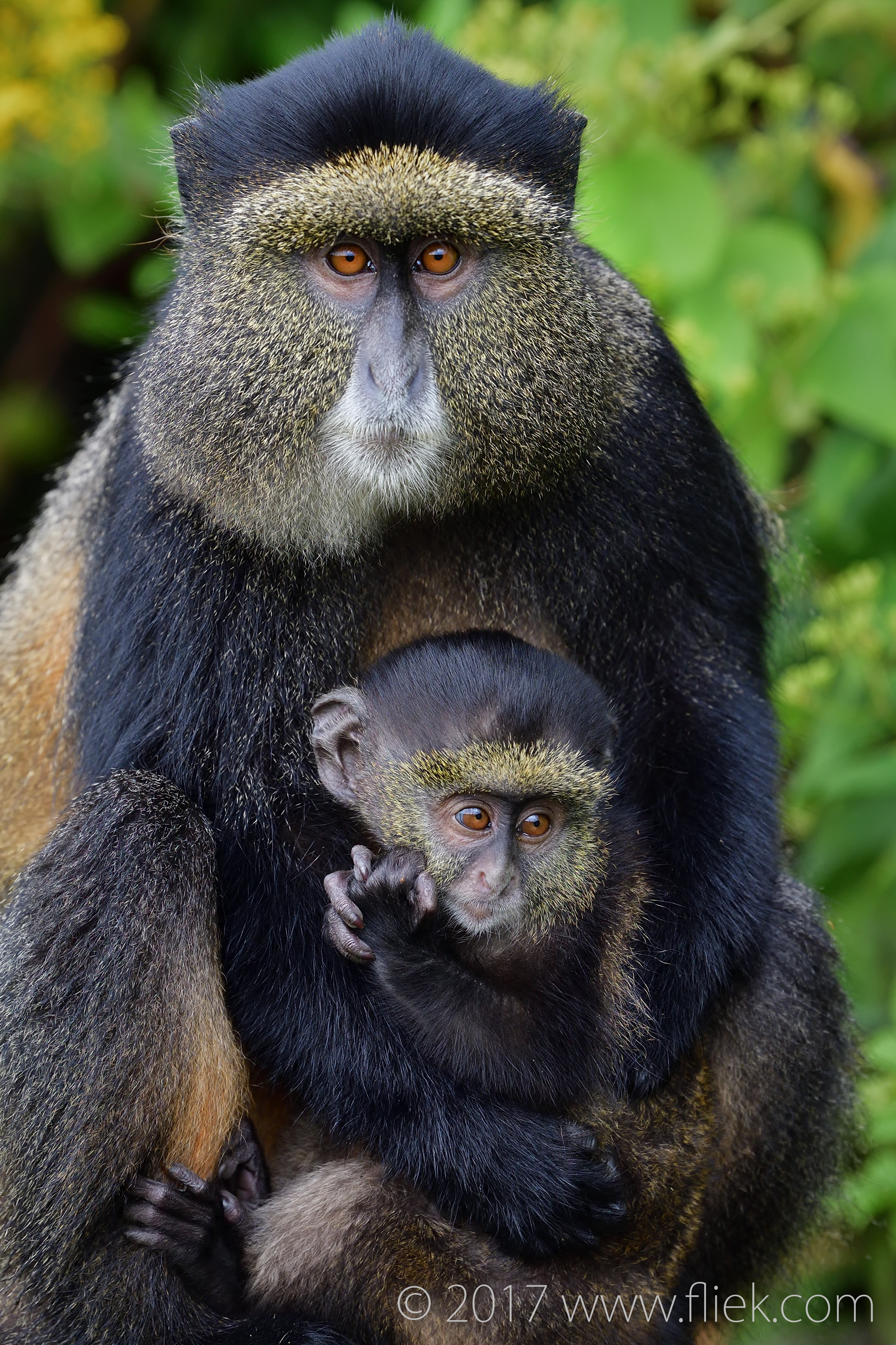 d500-golden-monkey-mum-and-baby