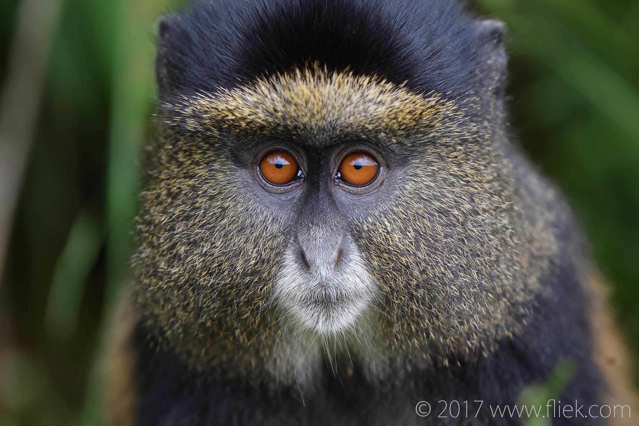 d500-golden-monkey-portrait1