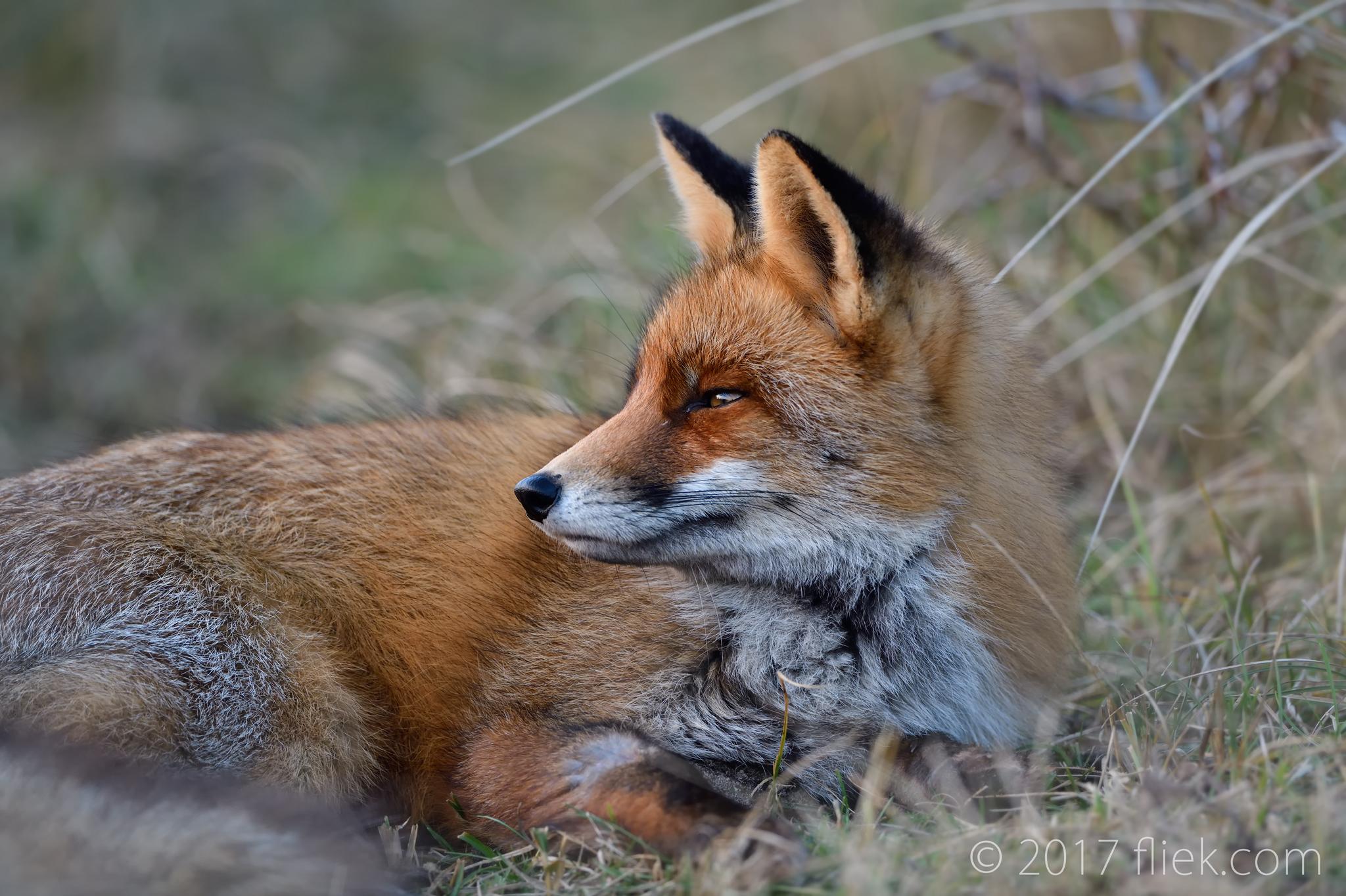Local intermezzo: Foxy vs the Nikon D850