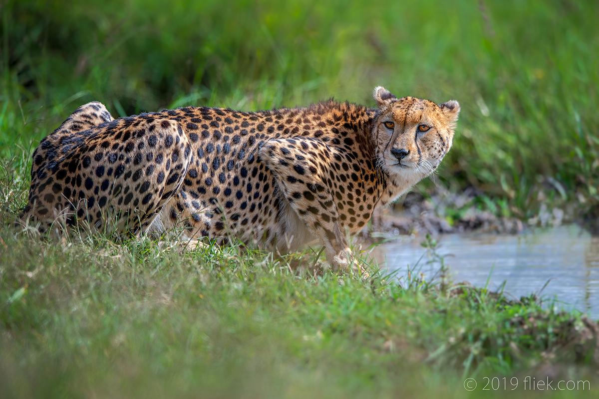 Mara land… is Cheetah land
