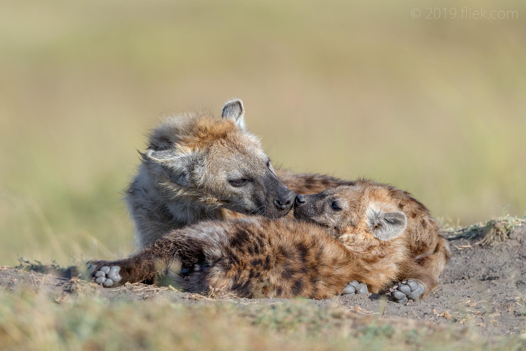 Mara land is… Hyena Land