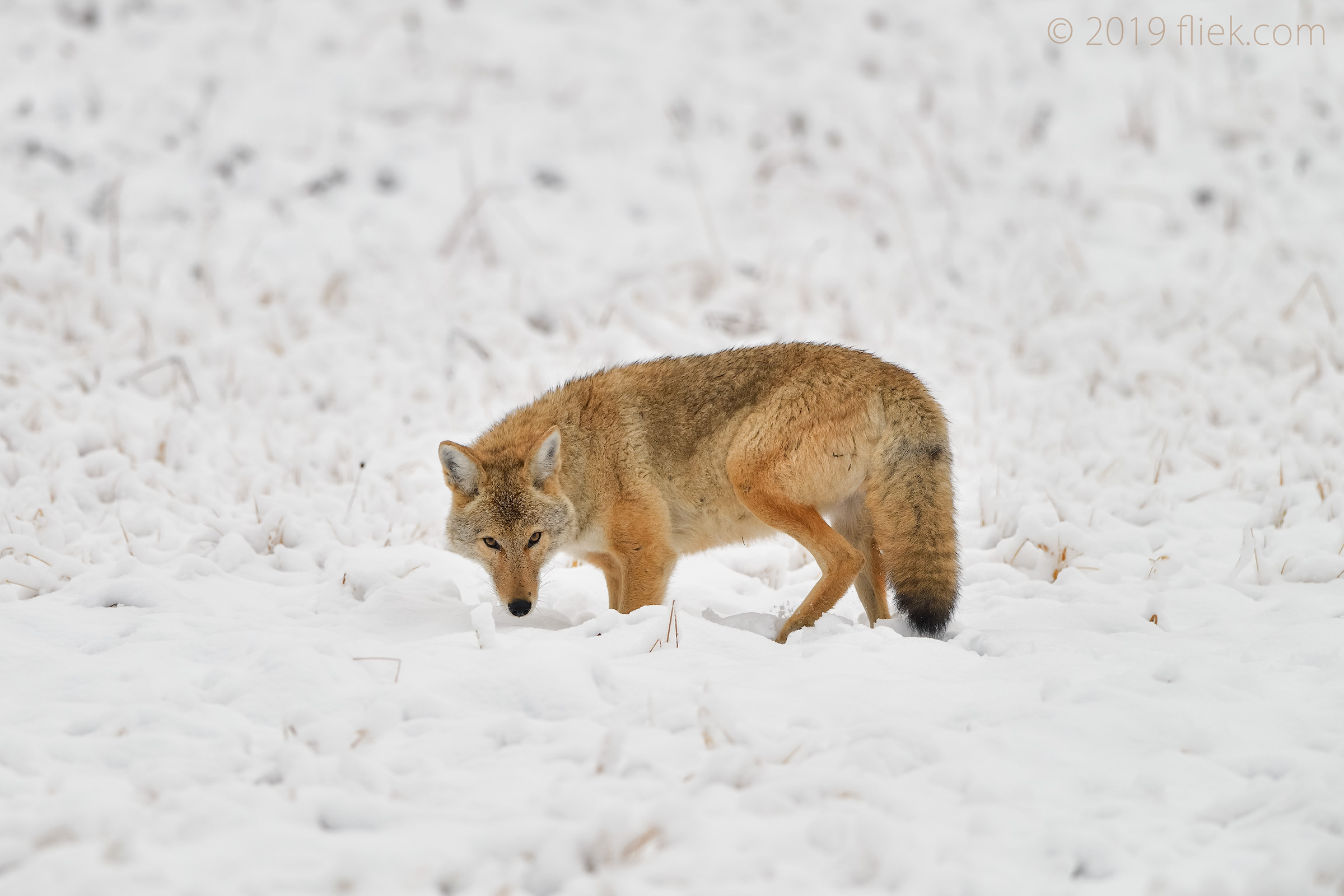 Yellowstone: snowy scenes