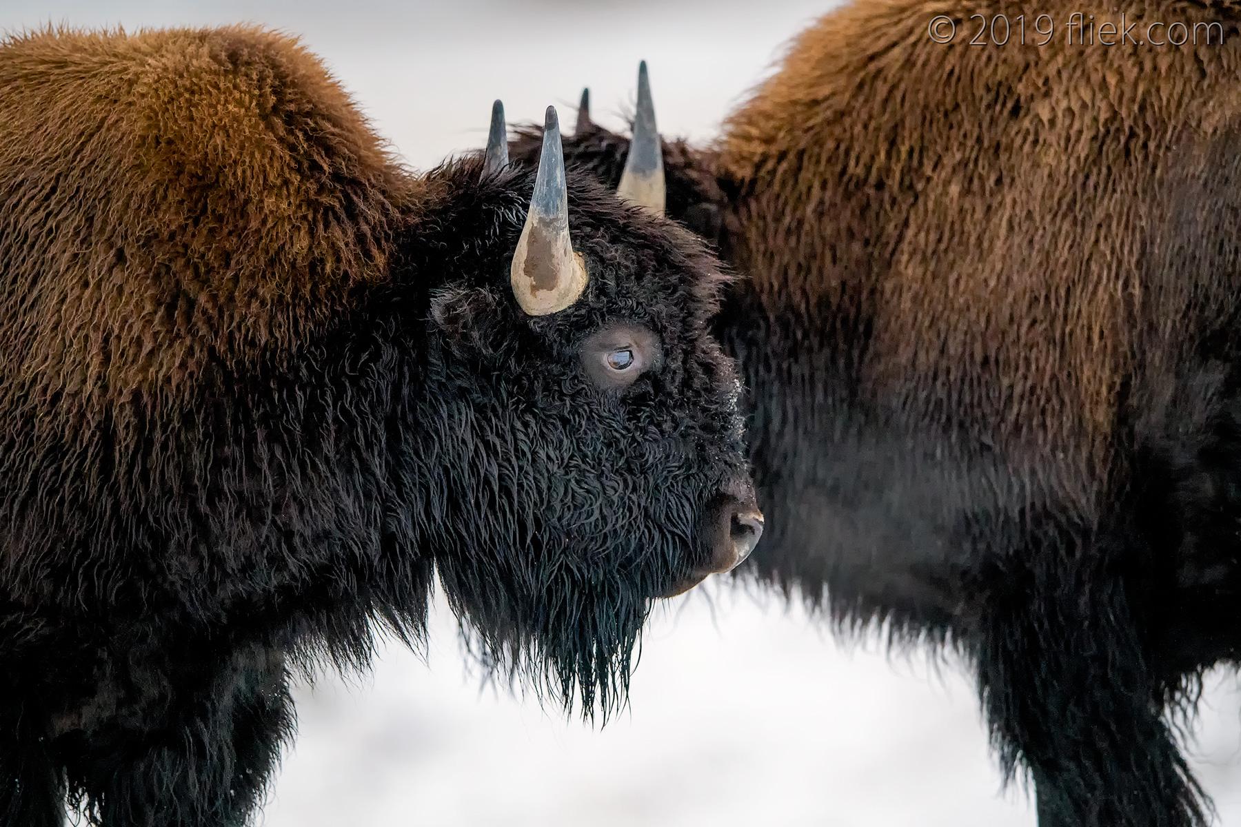 Yellowstone: snowy scenes part II